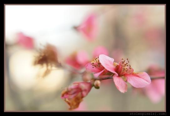 Pale Blossoms