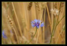 Indigo Wheat